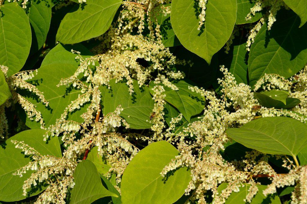 Zielone, sercowate liście i białe, drobne kwiaty rdestu japońskiego,