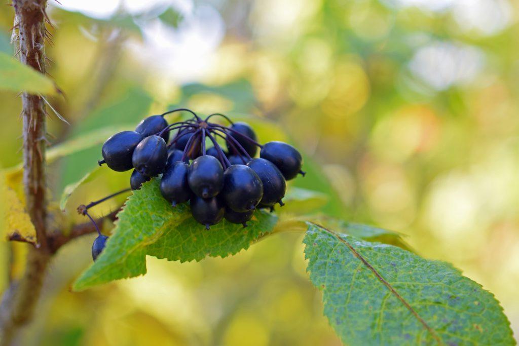zielone liście i czarne kuliste małe owoce żeń szenia syberyjskiego