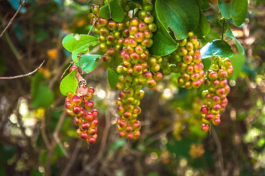 zielone sercowate liście oraz czerowno-zielone owoce rośliny kolcorośli