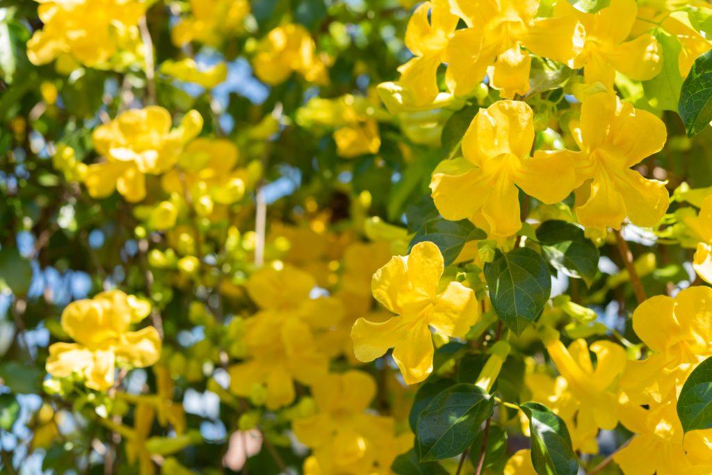 żółte kwiaty i zielone liście rośliny koci pazur